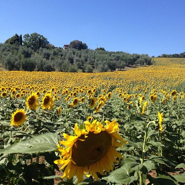 sunflower field - Italy
